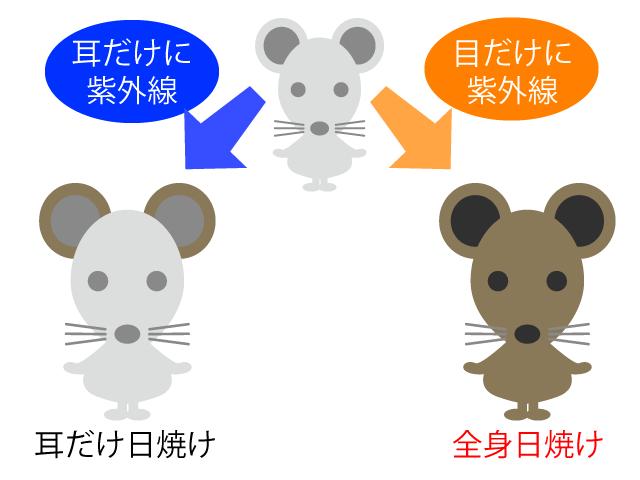 マウスの眼の紫外線実験